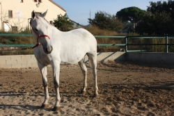 Pre horses for sale - Jarana XL ( QUALIFIED )