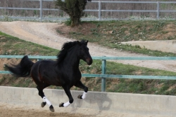 Andalusian horses for sale - Indalo de la B