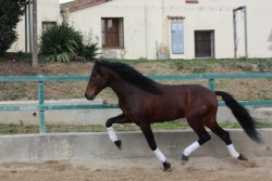 Horses for sale - Gaucho XXIX