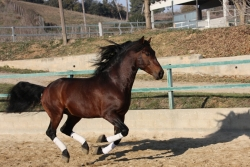 Spanish purebred horses for sale - Huérfano XXVII