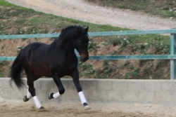 Spanish purebred horses for sale - Inedito de la B