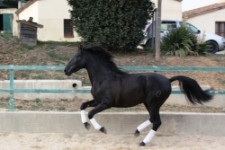 Spanish purebred horses for sale - Moro de la B
