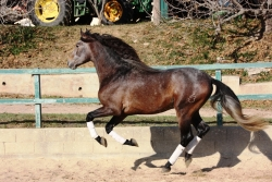 Andalusian horses for sale - Miura de la B