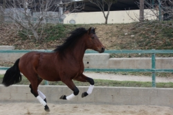Andalusian horses for sale - Omega Caruso