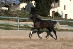Andalusian horses for sale - Nazareno de la B