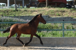 Andalusian horses for sale - Marciano de la B